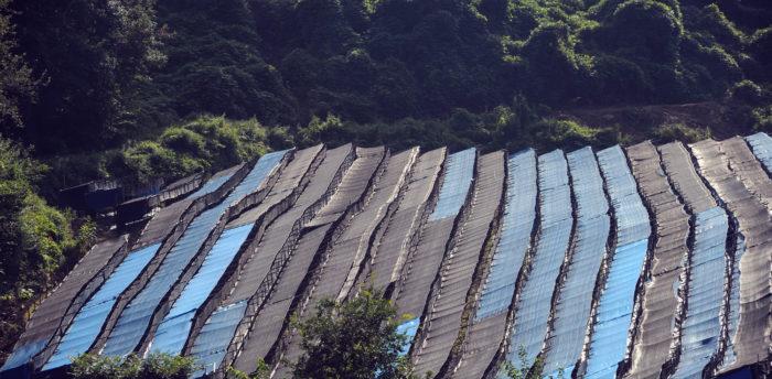 Champ de Panax ginseng CA Meyer sur les hauts plateaux de la région de Mandchourie